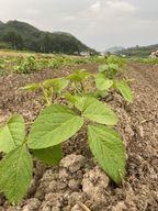 ブログ更新しました(^^♪丹波黒枝豆作業の様子を図解で!