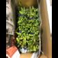 【予約受付中】10月中頃発送丹波黒枝豆・枝付黒枝豆(1.25kg×2束)